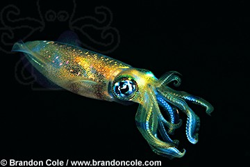 lq9660. Bigfin Reef Squid (Sepioteuthis lessoniana)