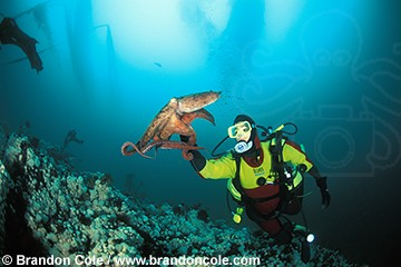 ma32. Pacific Giant Octopus (Enteroctopus dofleini), interacts with scuba diver Melissa Cole (model released)