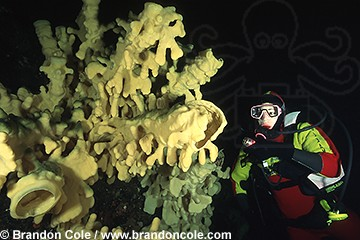 lf4618. Cloud Sponge (Aphrocallistes vastus) and woman diver. Model Released
