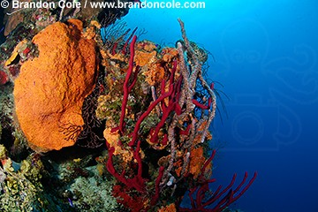 nr0461-D. sponges along coral reef wall including red Erect Rope Sponges (Amphimedon compressa) Orange Elephant Ear Sponge (Agelas clathrodes) and Lavendar Rope Sponge (Niphates erecta)