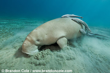 RZ0111-D. wide angle uw photo of a Dugong feeding on sea grass on sandy bottom, Copyright Brandon Cole