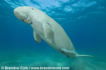 RZ0144-D. high res stock photo of a wild dugong. Note remoras attached. Licenses available for editorial and commercial publication. Contact Brandon Cole