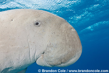 RZ0229-D. portrait of one endangered Dugong found in Egyptian Red Sea. Copyright Brandon Cole.