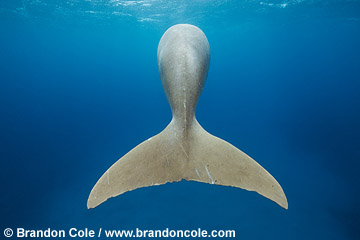 RZ0273-D. Dugong dugon, related to manatee, shot shows unique tail, Photo By Brandon Cole