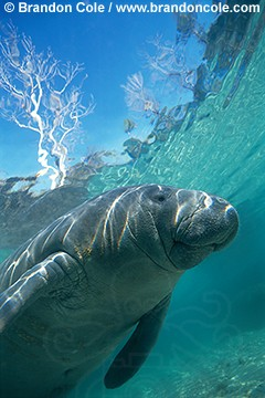 ki1891. portrait of Florida Manatee, a subspecies of the West Indian Manatee. Photo by Brandon Cole