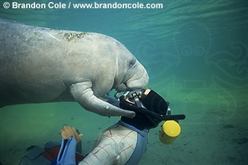 ki1892. snorkeler (model released) and West Indian Manatee, Florida subspecies