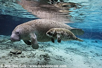 nz0643-D. West Indian Manatees (Trichechus manatus), Florida subspecies