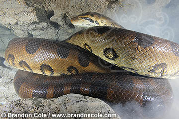 Rare image of 7 meter long Green Anaconda snake coiled up in Rio Formosa, Brazil. Copyright Brandon Cole