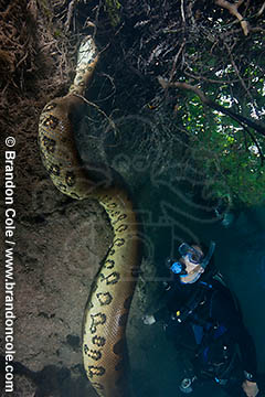 One huge anaconda swimming underwater while model released scuba diver observes. Photo Copyright Brandon Cole.