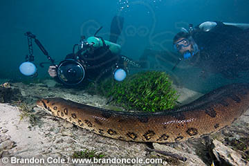 two divers encounter large Eunectes murinus in freshwater, hires image, owned by professional photographer Brandon Cole