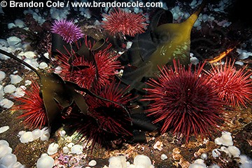 kk2516. sea urchins (red- Stronglyocentrotus franciscanus, and purple- S. purpuratus) feeding on drift kelp