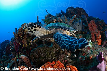 pf0127-D. Hawksbill Seaturtle swimming over sponges on coral reef, Dominica, Caribbean Sea.