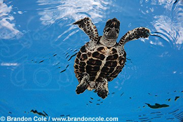pk70645-D. baby Hawksbill Sea Turtle swimming. An endangered species found in tropical seas worldwide.