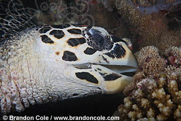 ps30374-D. high res digital picture, Hawksbill Sea Turtle feeding on coral, Maldives, Indian Ocean