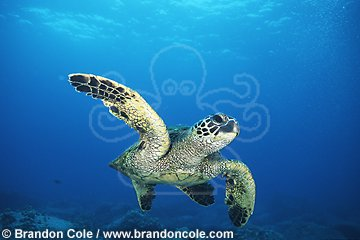 mx13. Green Sea Turtle (Chelonia mydas), underwater