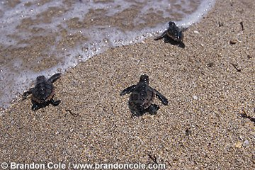 na868. Loggerhead Sea Turtle (Caretta caretta) hatchlings on beach, racing for the ocean.