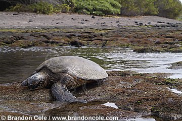 nn0274-D. Green Sea Turtle (Chelonia mydas) has crawled up into shallow intertidal zone to feed on algae growing on rocks.