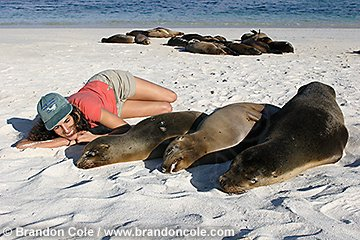 nu72193-D. California Sea Lions (Zalophus californianus) sleeping on beach. Woman (model released) lies near them. Galapagos