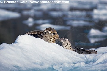gd300. Harbor Seals (Phoca vitulina), mother and pup on iceberg