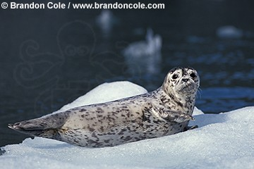 gd308. Harbor Seal (Phoca vitulina) young pup, pinniped, marine mammal, cute