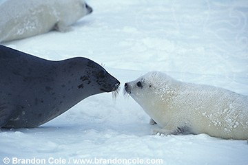 ll5385. Harp Seals (Phoca groenlandica). Mother and newborn whitecoat pup