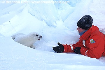 ll5548. Harp Seal (Phoca groenlandica). Newborn whitecoat pup and happy tourist