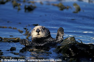 ig812. Southern Sea Otter (Enhydra lutris), high resolution stock picture for sale
