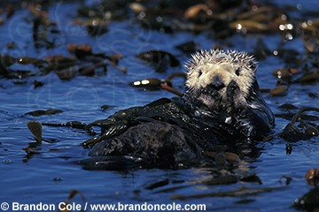 ld3595. Southern Sea Otter (Enhydra lutris), wild. California, Pacific Ocean.