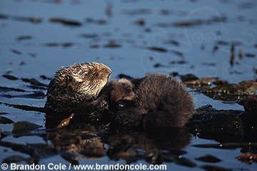 ld3693. Southern Sea Otters (Enhydra lutris), mother and pup