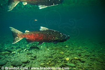 gx528. Chinook Salmon, Oncorhynchus tshawytscha, male heads upriver to spawn, Wenatchee River, WA, USA.