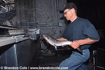 mo209. Chinook Salmon (Oncorhynchus tshawytscha) at Lower Granite Dam, Snake River, WA. Fisheries biologist examining fish. Magnetic sensor detects implanted tags used for monitoring fish population.