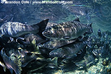 mj4. schooling Coho Salmon  (Oncorhynchus kisutch) underwater, endangered species