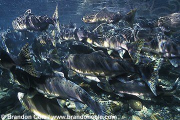 mj227. Pink Salmon (Oncorhynchus gorbuscha) schooling in river on way to spawn
