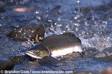 mj53. Pink Salmon (Oncorhynchus gorbuscha) struggles in shallow stream bed fighting its way upstream to spawn