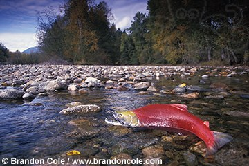 mb121. Sockeye Salmon, male struggles up riverbed to spawning grounds