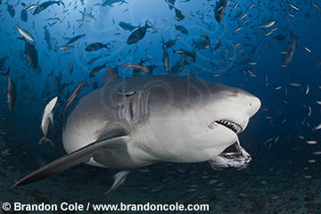 RC40131, copyrighted underwater photograph a a bull shark feeding, made in Beqa Fiji, dramatic stock high res