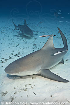 RR1672. Two Bull Sharks, Carcharhinus leucas, swimming over sand, dramatic underwater photography by Brandon Cole