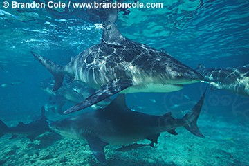nc4. Bull Sharks (Carcharhinus leucas), high res photo. Bahamas, Atlantic Ocean.