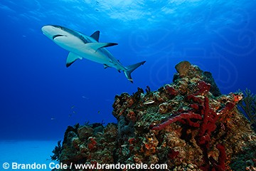 pa0536-D. Caribbean Reef Shark (Carcharhinus perezi), photo of this common elasmobranch species swimming over colorful coral reef