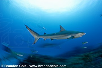 pk11851-D. Caribbean Reef Shark, blurred motion. Underwater images from full-time professional shooter Brandon Cole