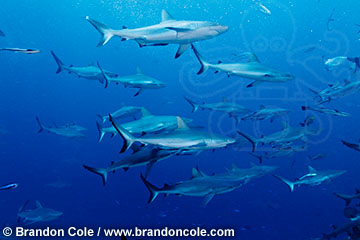 schooling Grey Reef Sharks, Carcharhinus amblyrhynchos, dramatic horizontal stock image made in Australian Coral Sea