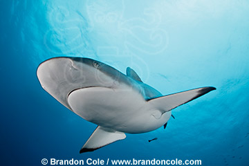 one gray reef shark swimming in blue tropical ocean off Fiji Islands, Photo Copyright © Brandon Cole