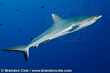 Carcharhinus amblyrhynchos grey reef shark, horizontal stock image, Copyright Brandon Cole