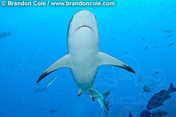 Gray Reef Shark color photograph, Picture Copyright Brandon D Cole, Carcharhinus amblyrhynchos, elasmobranch fish, horizontal format, Great Barrier Reef, Pacific Ocean,