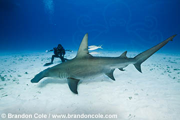 Great Hammerhead Shark photos, high resolution stock ...