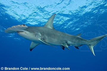 http://www.brandoncole.com/profile%20photos/SHARKS/great%20hammerhead/pa0298-D-great_hammerhead_shark_brandon_cole.jpg