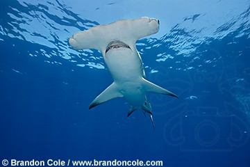 great hammerhead shark brandon