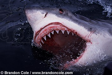 ms5. Great White Shark, dangerous species, mouth open showing teeth ...
