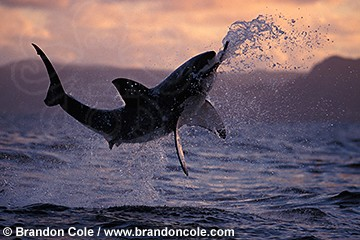 nj5. Great White Shark, breaching at sunset attacking a seal decoy. Photo from South Africa.