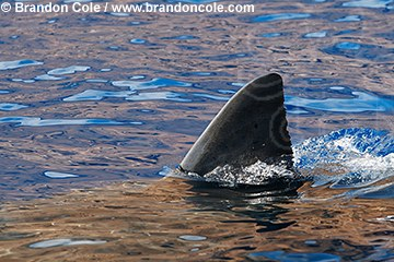 py50068-D. picture of dorsal fin of Great White Shark, also called White Pointer.